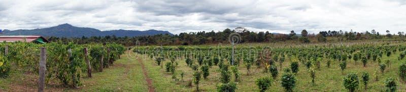 Plantação de chá em Laos imagem de stock