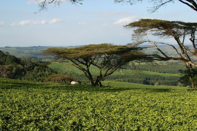 Plantação de chá em Malawi, África