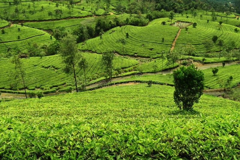 Plantação de chá em munnar - máscara verde imagem de stock