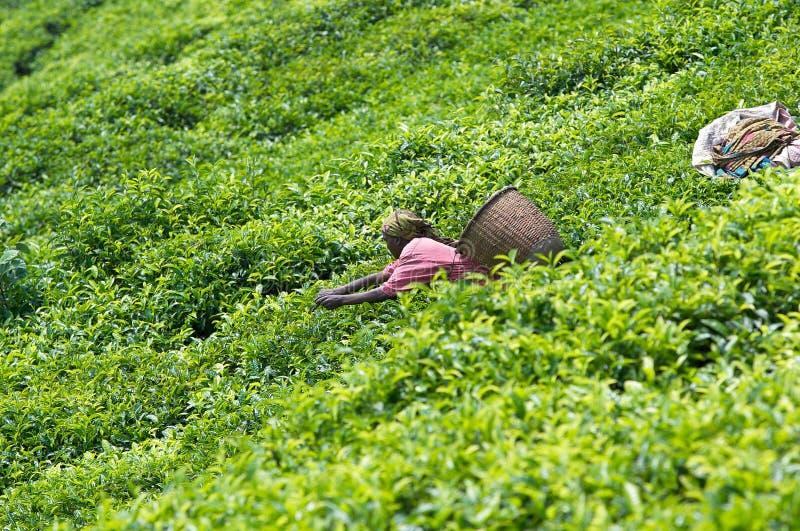 Plantação de chá em Rwanda imagens de stock royalty free
