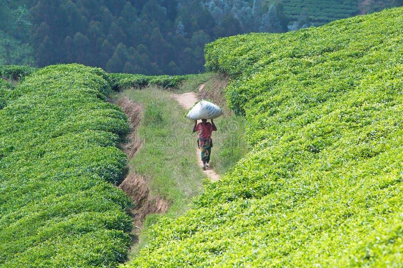 Plantação de chá em Rwanda imagens de stock