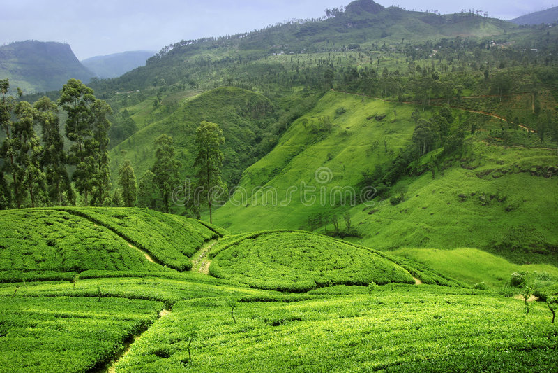 Plantação de chá em Sri Lanka fotografia de stock royalty free