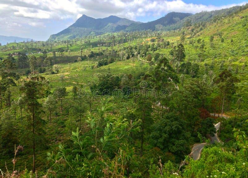 Plantação de chá, montanha grande Nanuoya foto de stock