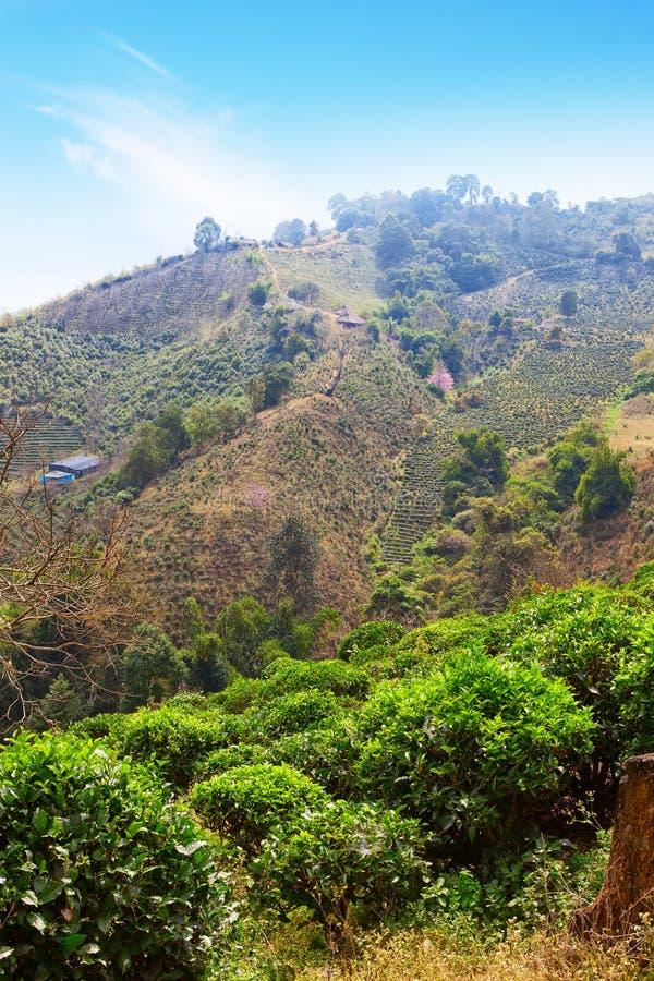 Plantação de chá na montanha, Doi Mae Salong, Chiang Rai Province, Tailândia imagem de stock