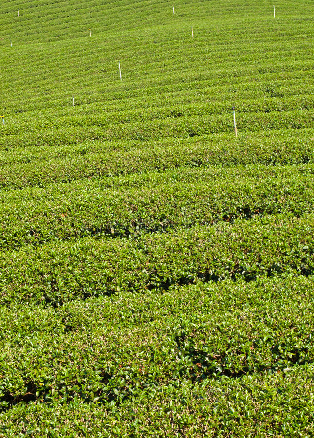 Plantação de chá no monte de Mae Salong, Chiang Rai, Tailândia imagem de stock