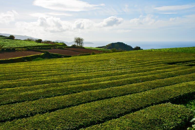 Download Plantação de chá imagem de stock. Imagem de manufatura - 29844037