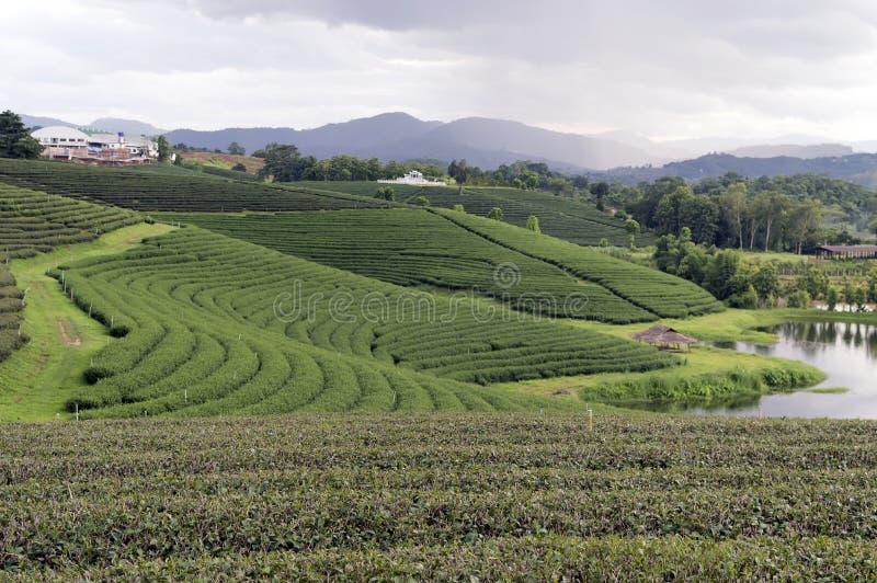 Plantação de chá Tailândia de Chiang Rai fotografia de stock royalty free