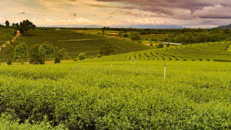 Plantação de chá verde do panorama sobre a inclinação de montanha imagem de stock
