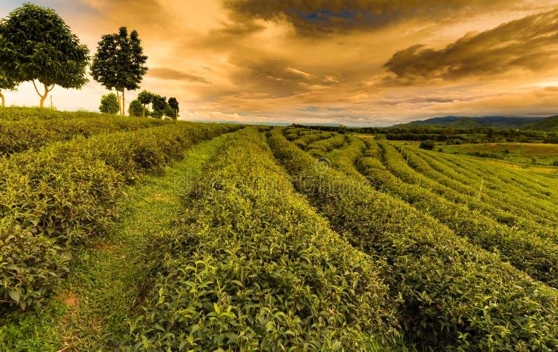 Plantação de chá verde sobre a inclinação de montanha fotografia de stock royalty free