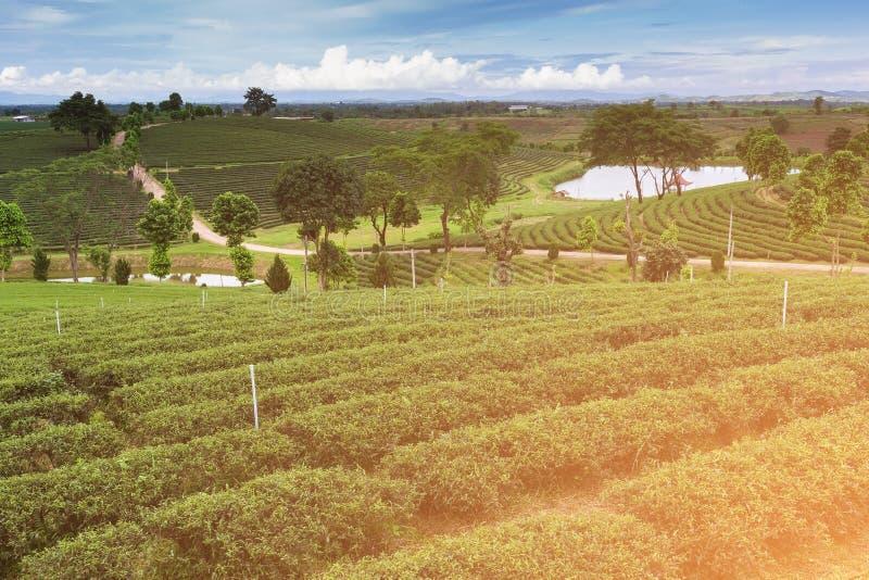 Plantação de chá verde sobre o monte alto imagens de stock