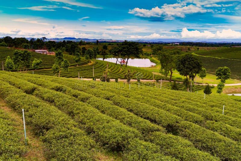 Plantação de chá verde sobre o monte alto foto de stock
