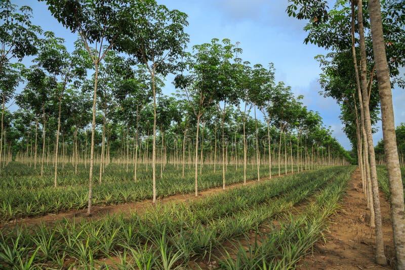 Plantação do abacaxi e da árvore da borracha. imagem de stock royalty free
