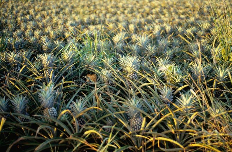 Plantação do abacaxi na ilha de Oahu, Havaí imagem de stock