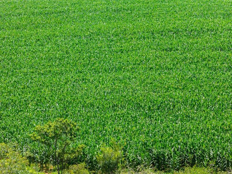 Plantação do campo de milho em Brasil - sumário verde do teste padrão imagens de stock