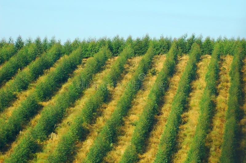 Plantação do eucalipto foto de stock royalty free