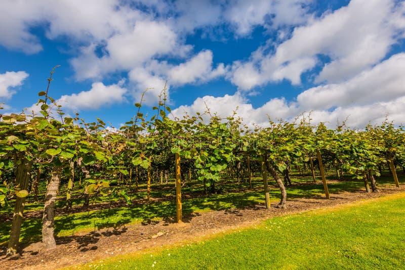 Plantação do fruto de quivi imagens de stock