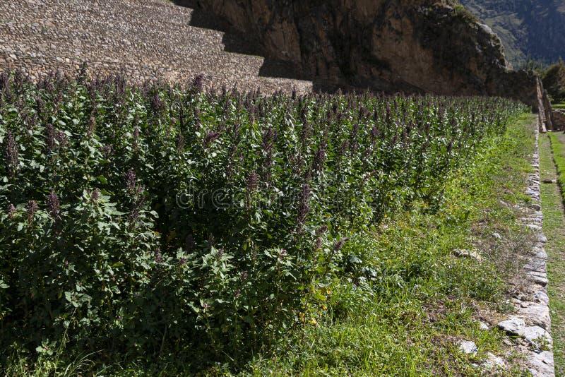 Plantação do Quinoa no Peru fotos de stock