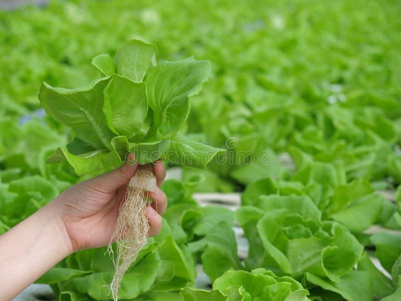 plantação hydrophonic imagem de stock