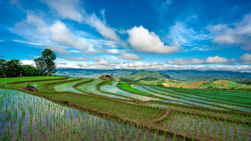 Plantação natural Paddy Rice Cultivation fotos de stock royalty free
