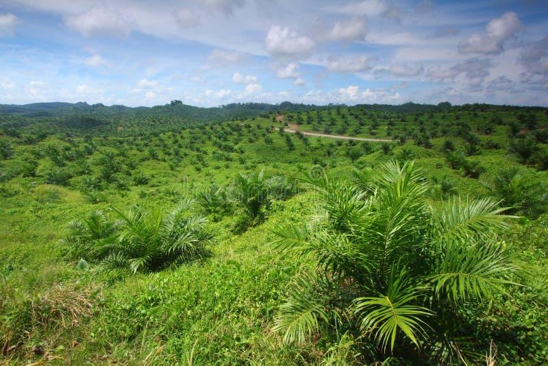 Plantação nova da palma de petróleo imagens de stock royalty free