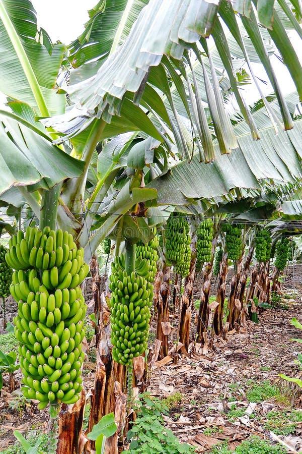 Plantação orgânica da árvore de banana fotografia de stock