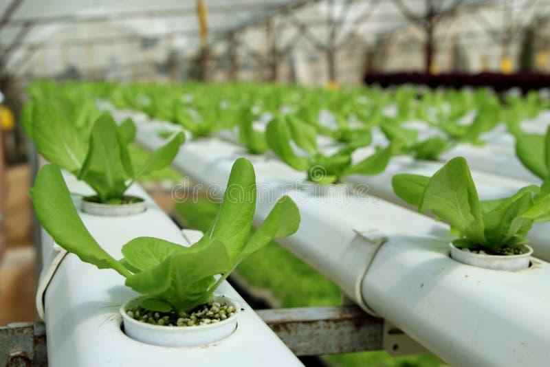 Plantação orgânica de Hydrophonic fotografia de stock royalty free
