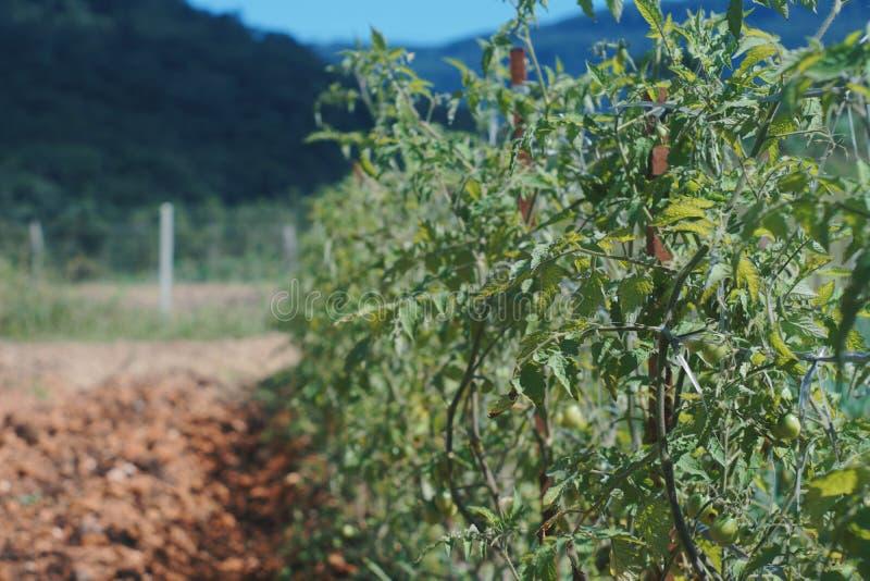 Plantação orgânica do tomate imagens de stock royalty free
