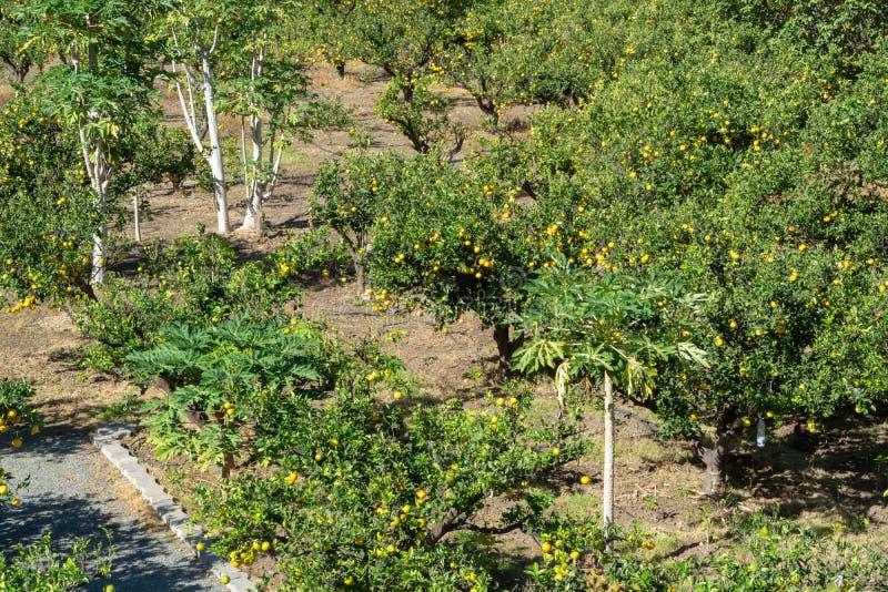 Plantação saboroso das laranjas de umbigo com muitas citrinas alaranjadas ha imagem de stock royalty free