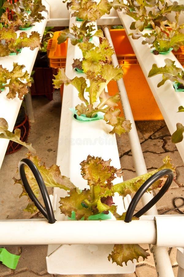 Plantação Soilless do vegetal imagem de stock royalty free