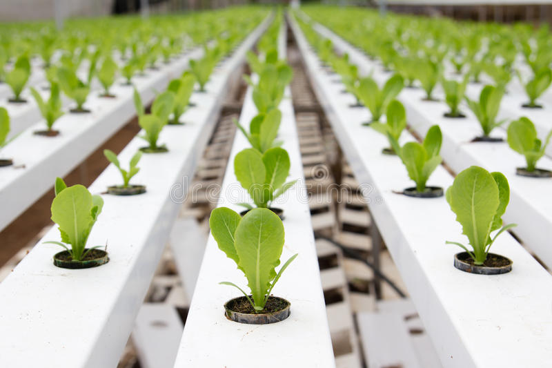 Plantação vegetal hidropónica imagens de stock royalty free