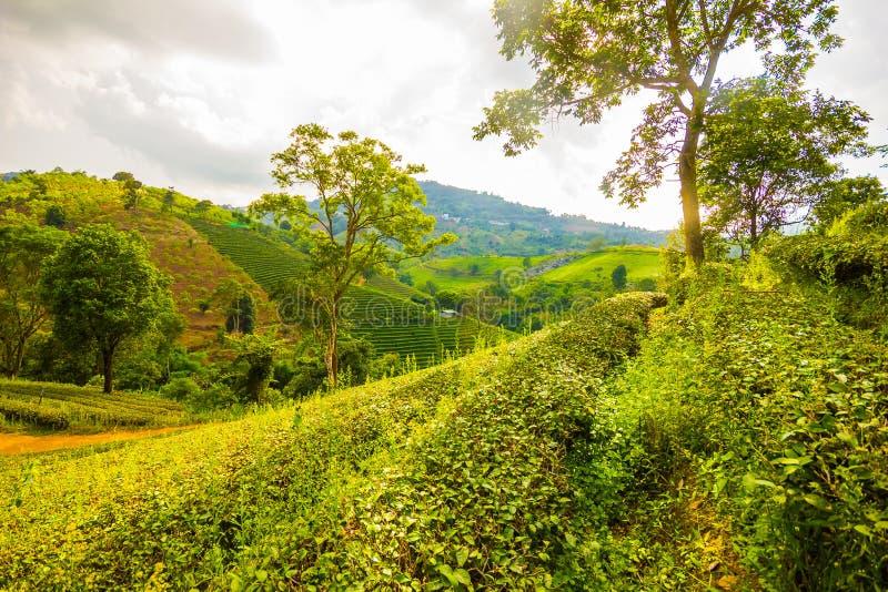 Plantação verde fresca bonita do campo do chá do oolong, ne de Mae Salong foto de stock royalty free