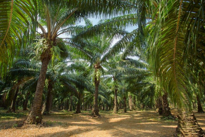Plantações da árvore do óleo de palma foto de stock