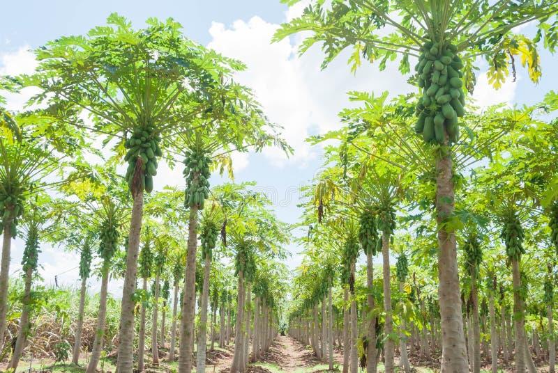Plantações da papaia fotografia de stock