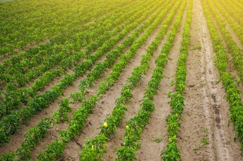 Plantações da pimenta de sino búlgara doce Cultivo e agricultura Cultivo, cuidado e colheita Planta que cresce, agronomia fotos de stock