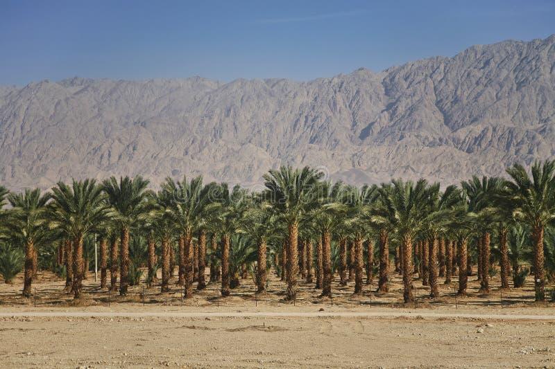 Download Plantações Das Palmas De Datas Em Israel Foto de Stock - Imagem de plantações, agricultura: 29827504