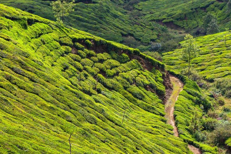 Plantações de chá foto de stock royalty free