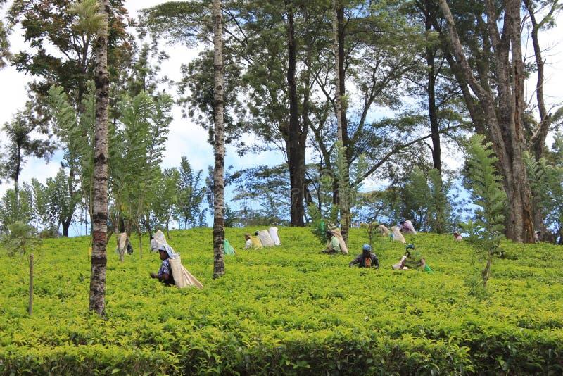Plantações de chá foto de stock