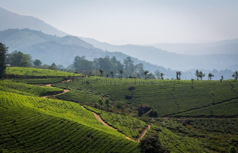 Plantações de chá imagens de stock
