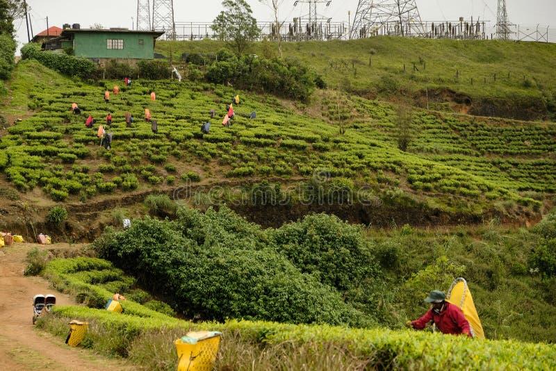 Plantações de chá azuis originais de Sri Lanka fotos de stock royalty free