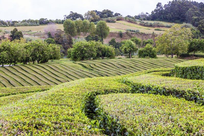 Plantações de chá na ilha de Miguel do Sao, Açores, Portugal imagens de stock