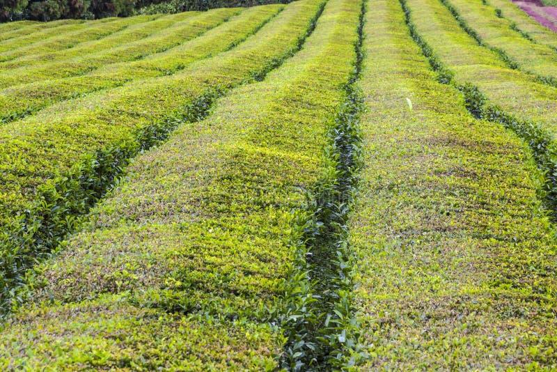 Plantações de chá na ilha de Miguel do Sao, Açores, Portugal imagem de stock royalty free