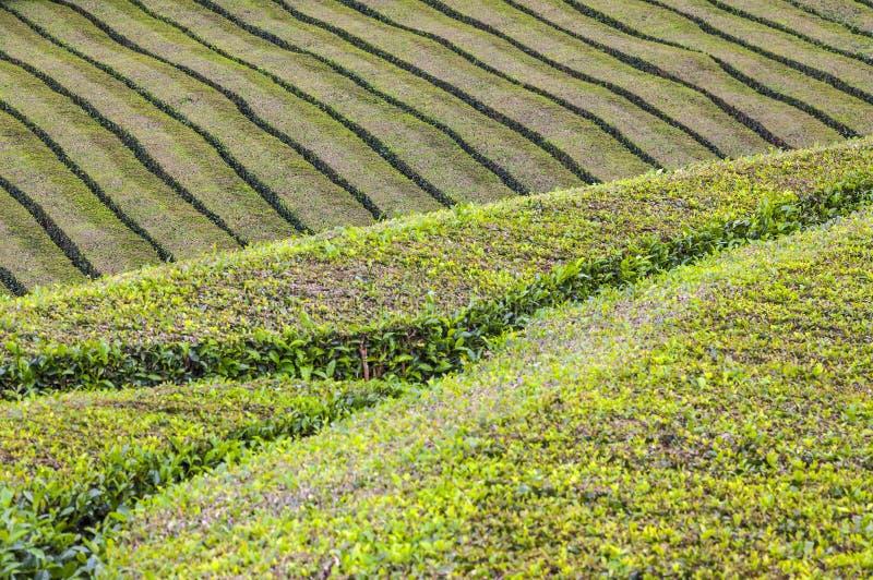 Plantações de chá na ilha de Miguel do Sao, Açores, Portugal fotografia de stock royalty free