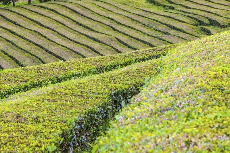 Plantações de chá na ilha de Miguel do Sao, Açores, Portugal foto de stock