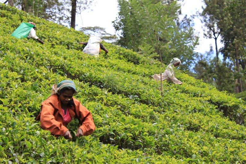 Plantações de chá Sri Lanka fotos de stock royalty free