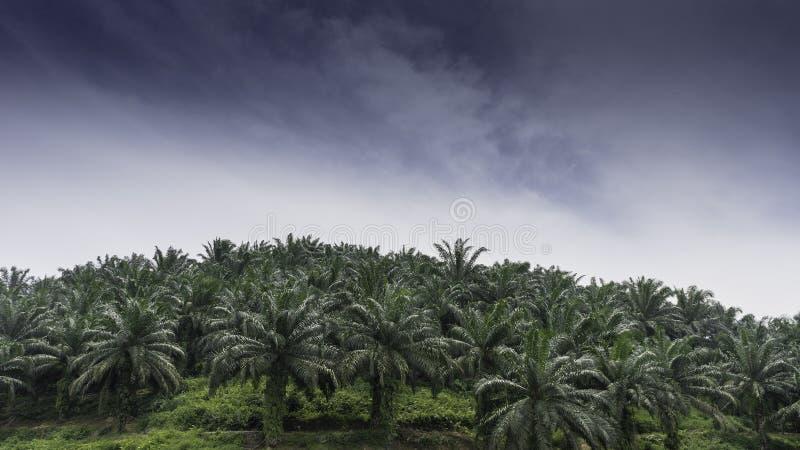 Plantações do óleo de palma imagens de stock royalty free