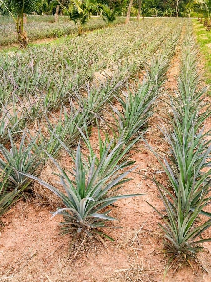 Plantações do abacaxi em Tailândia imagens de stock royalty free