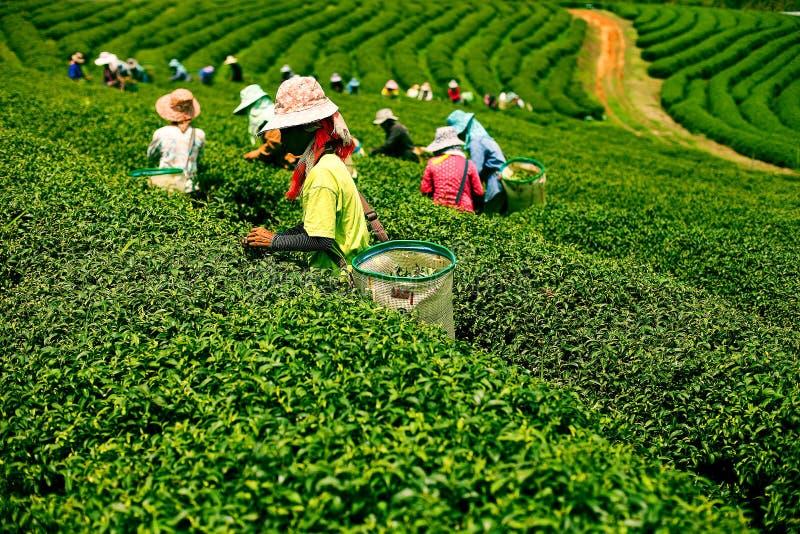 Plantações do chá em Mae Salong Valley Tailândia do norte imagens de stock