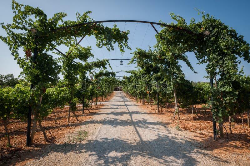 Plantações do vinhedo em Mallorca Inca, Mallorca, Espanha foto de stock