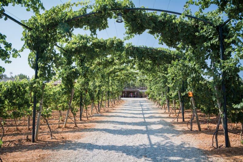 Plantações do vinhedo em Mallorca Inca, Mallorca, Espanha foto de stock royalty free