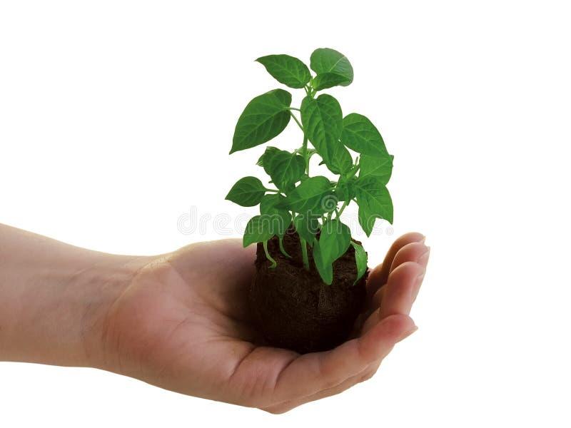 Download Planta à disposicão imagem de stock. Imagem de terra, dedo - 530763